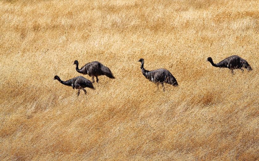 Emu Dromaius novaehollandiae Gloucester National Park Pemberton Western Australia