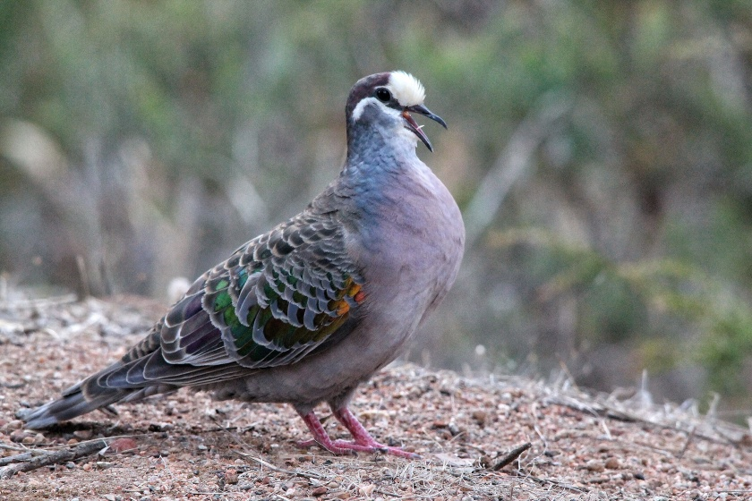Bronzewing Pigeon Phaps calcoptera Lesmurdie Falls National Park Mundy Perth Hills Western Australia