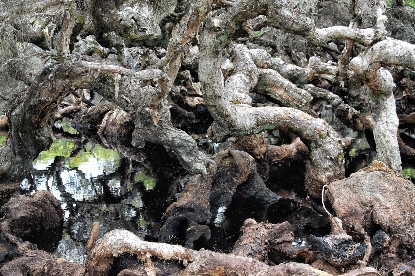 Goblin Swamp Greater Hawke National Park Western Australia Paperbark Tree