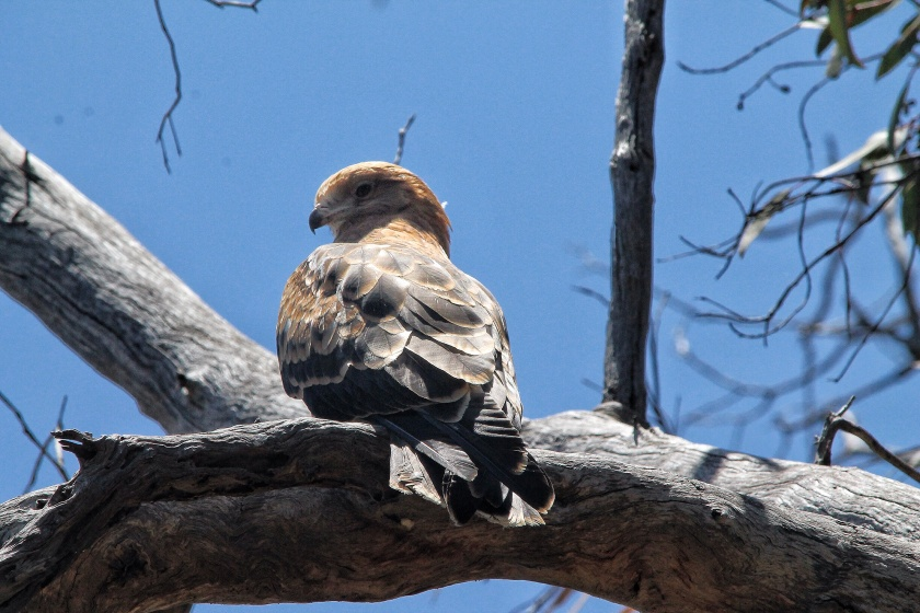 Whistling Kite Haliastur sphenurus Lesmurdie National Park Mundy Perth Hills