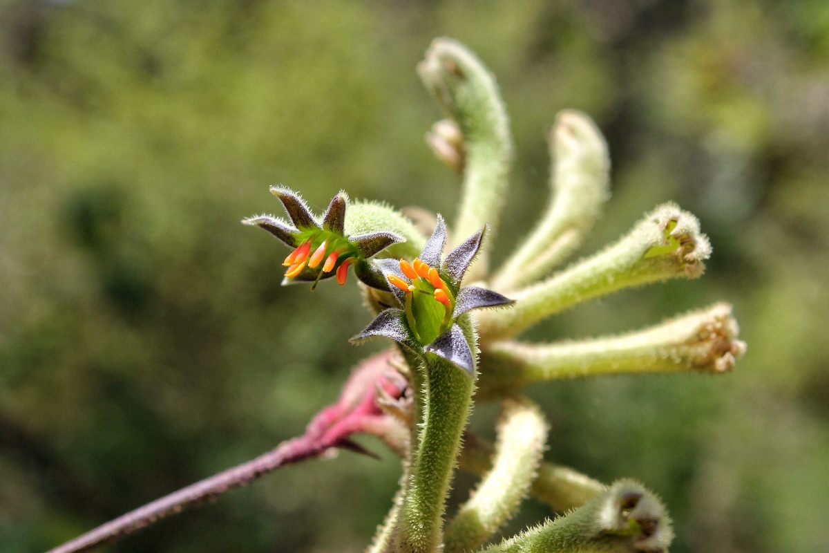 Evergreen Kangaroo Paw Anigozanthos flavidus d'Entrecasteaux National Park