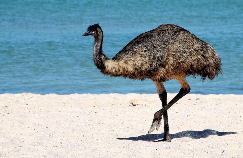 Emu Dromaius novaehollandiae Monkey Mia Shark Bay Western Australia