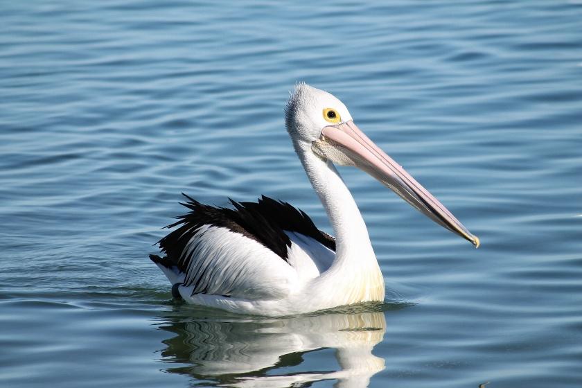 Australian Pelican Pelecanus conspicillatus Mornkey Mia Western Australia