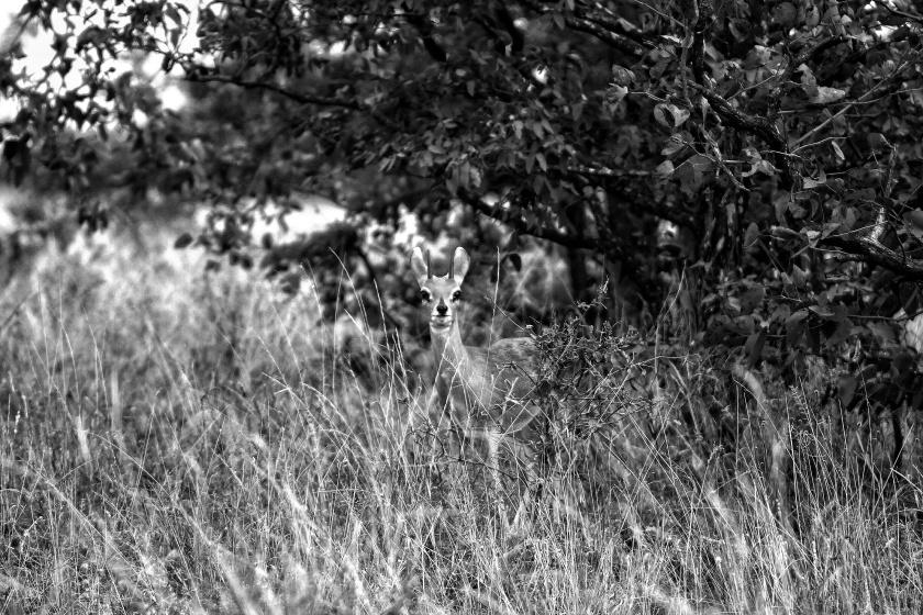Steenbok Kruger Park South Africa