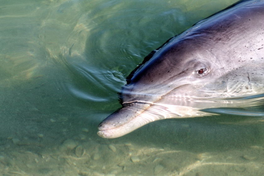 Bottlenose Dolphin Monkey Mia Shark Bay Western Australia