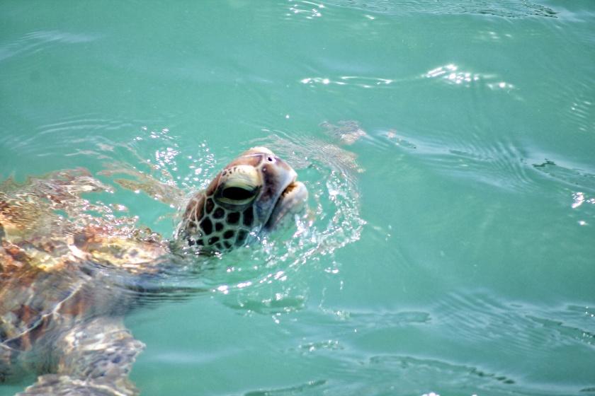 Green Sea Turtle Chelonia mydas Monkey Mia Shark Bay Western Australia