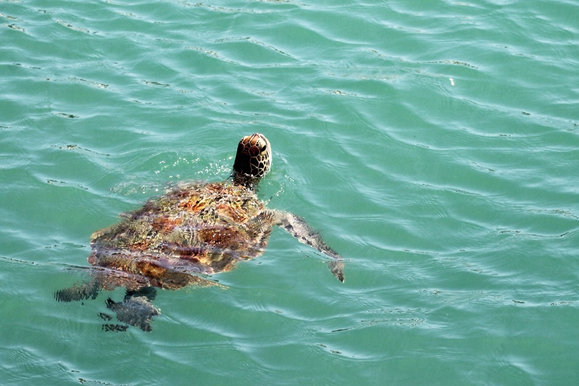 Chelonia mydas Green Sea Turtle Monkey Mia Shark Bay Western Australia