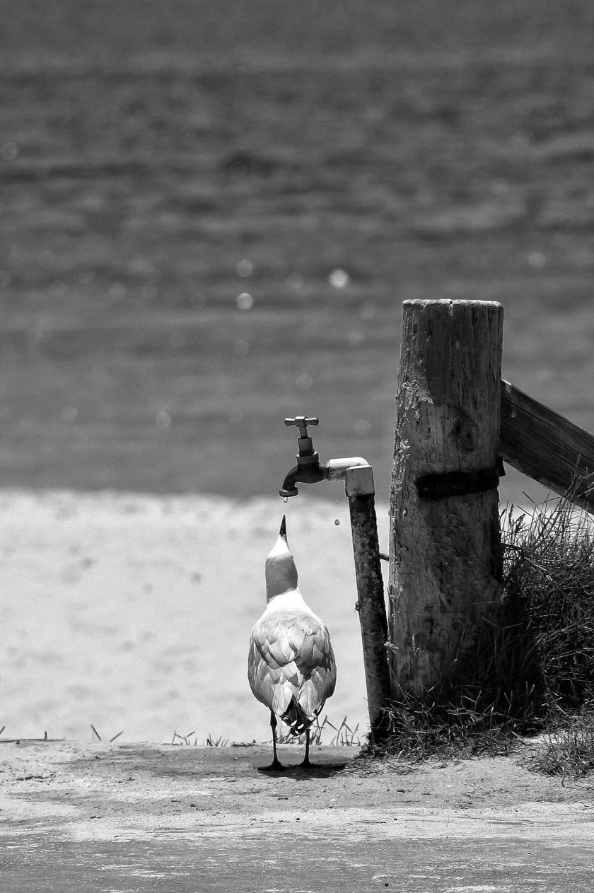 Seagull Monkey Mia Western Australia