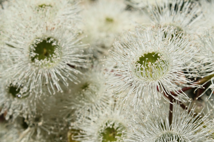Marri Tree Flowers Corymbia calophylla Lesmurdie Falls National Park Mundy Perth Hills Western Australia