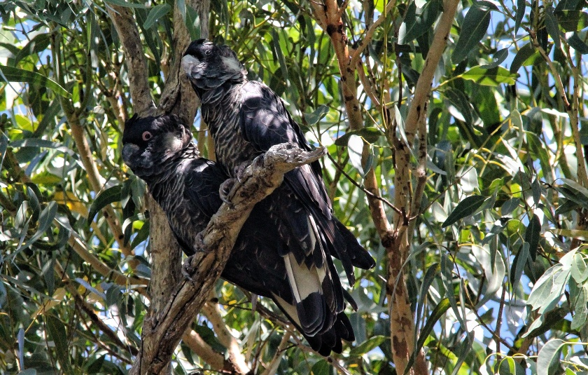 Carnaby's Black Cockatoo Calypthorhynchus latirostris Yanchep National Park Western Australia