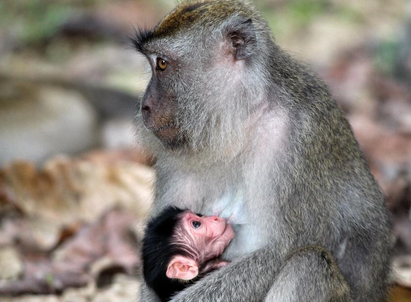 Long-tailed Macaque Kinabatangan Sabah Borneo Malaysia