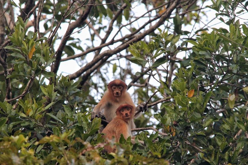 Proboscis Monkeys Juveniles Kinabatangan Sabah Borneo Malaysia
