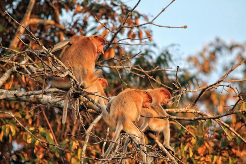 Proboscis Monkey Kinabatangan Sabah Borneo Malaysia