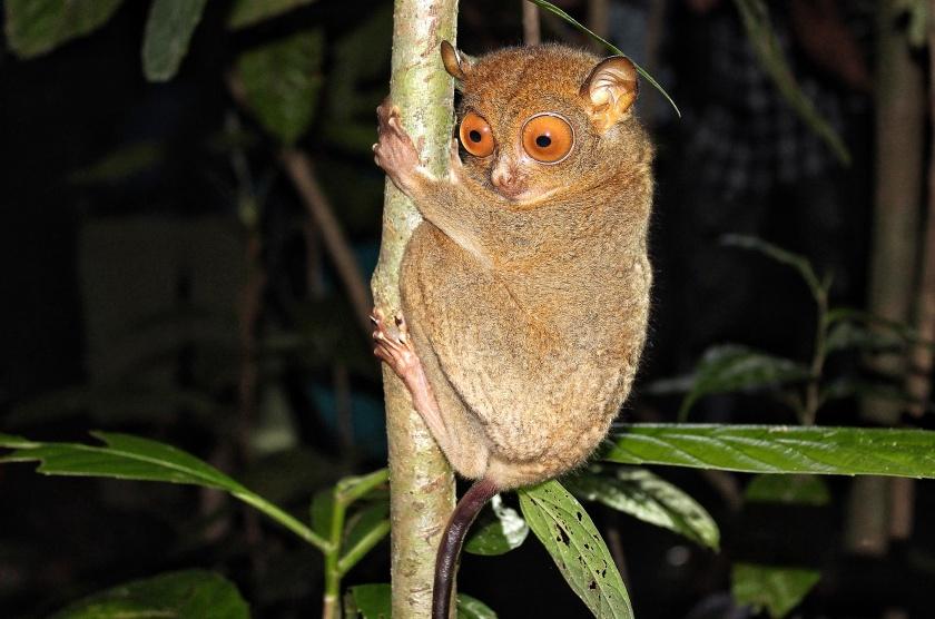 Western Tarsier Horsfield's Tarsier Kinabatangan Sabah Borneo Malayia Primate