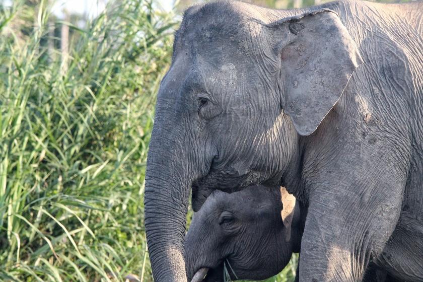 Borneo Pygmy Elephant Kinabatangang Sabah Malaysia