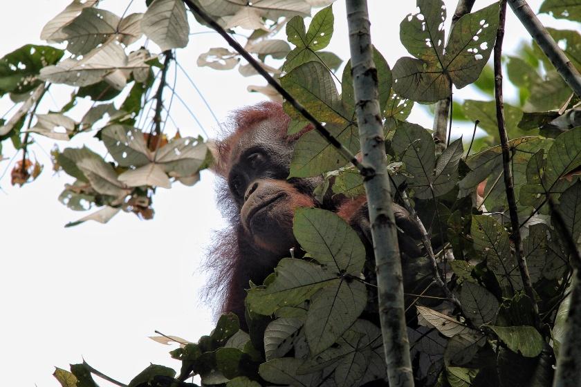 Orangutan Pongo pygmaeus Danum Valley Sabah Borneo Malaysia