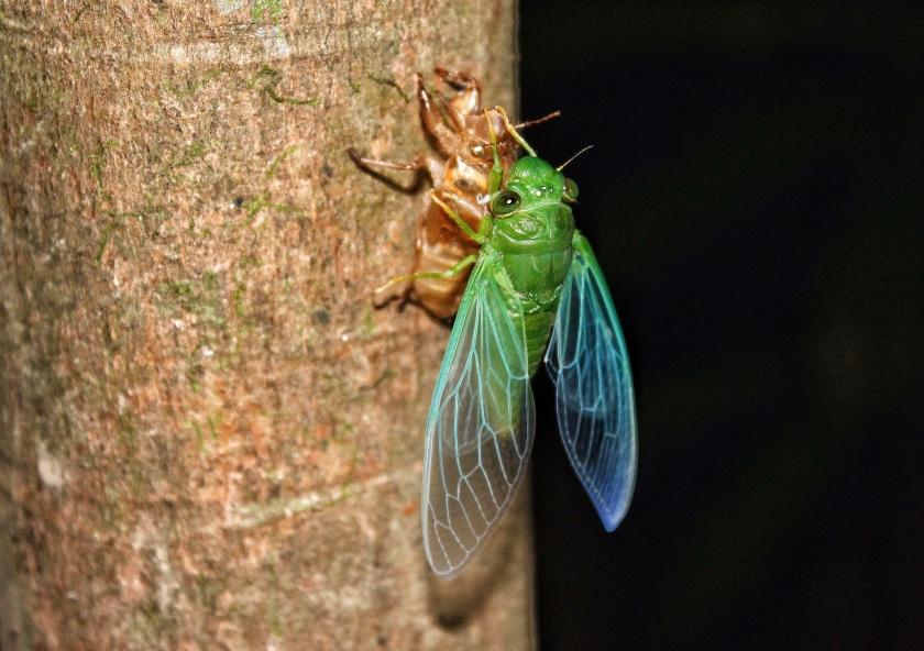 Jade Green Cicada Dundubia Vaginata Kinabatangang Sabah Borneo Malaysia