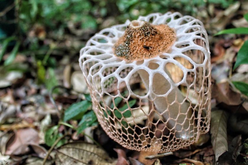 Veiled Lady fungus Phallus indusiatus Danum Valley Sabah Borneo Malaysia