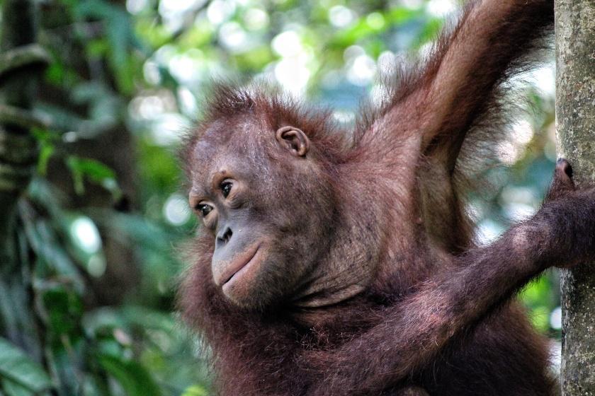 Orangutan Pongo pymaeus Forest Reserve Sabah Borneo Malaysia