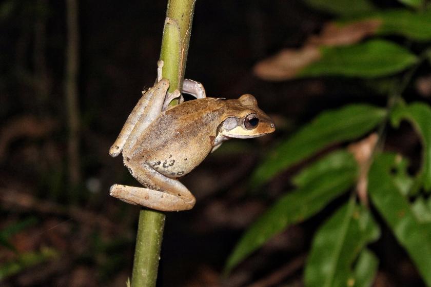 Four lined Tree Frog Polypedatus leucomystax Kinabatangang Sabah Borneo Malaysia
