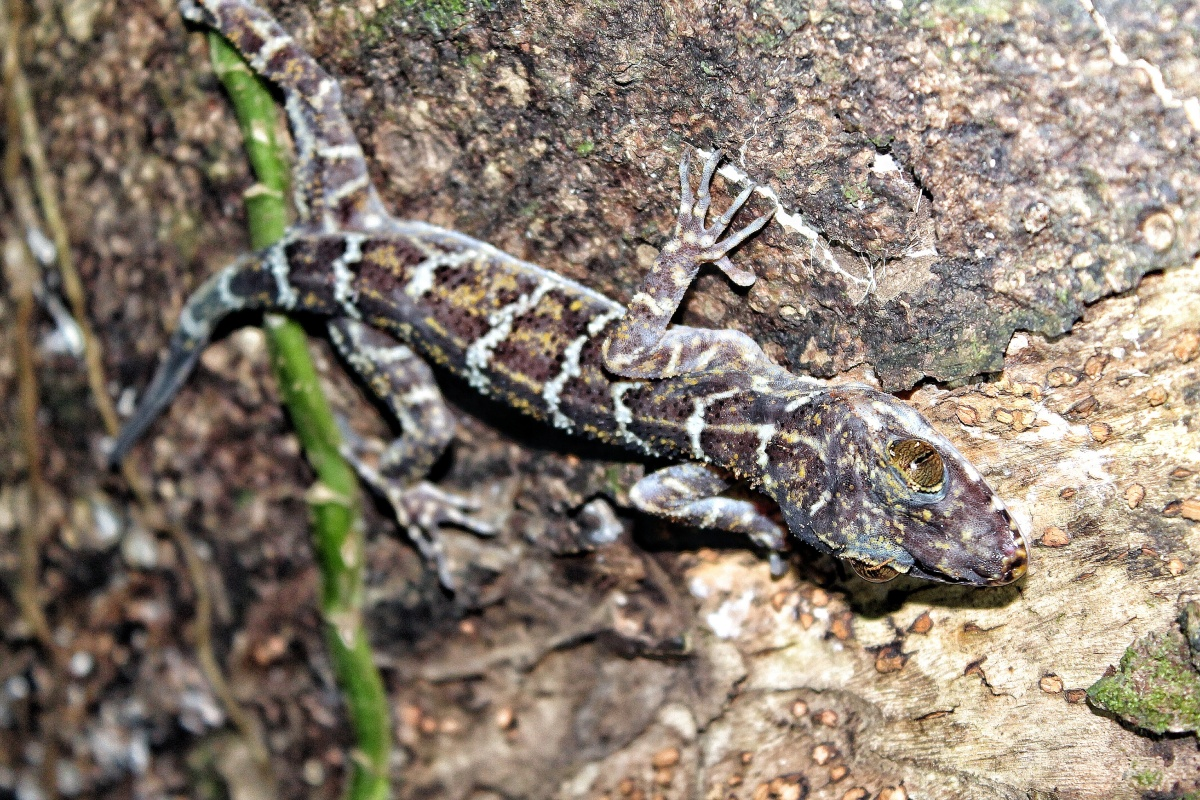 Borneo Bow-Fingered Gecko Cyrtodactylus malayanus Sepilok Borneo Malysia