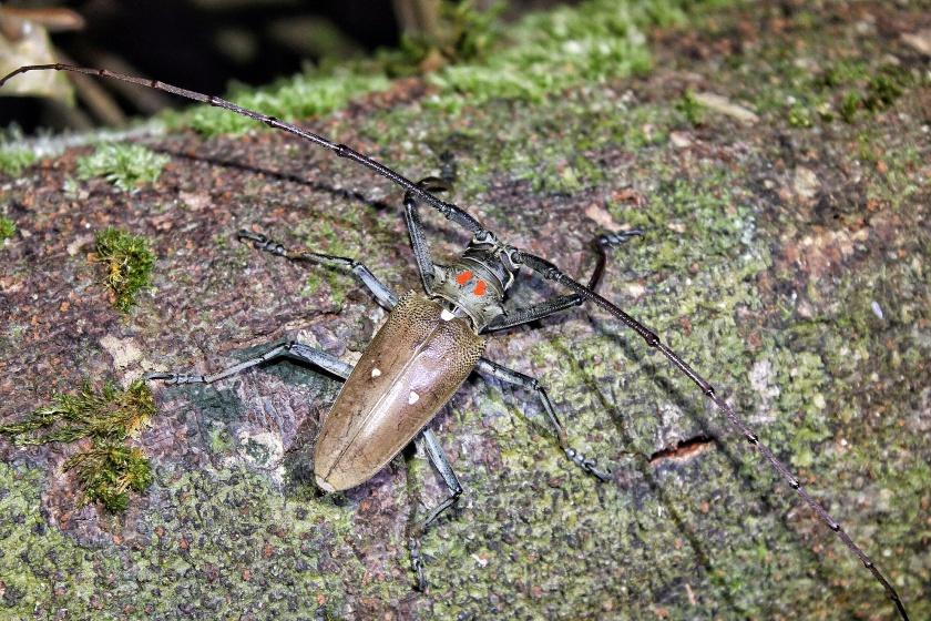 Longhorn Beetle Batocera rubus Sepilok Forest Reserve Sabah Borneo Malaysia