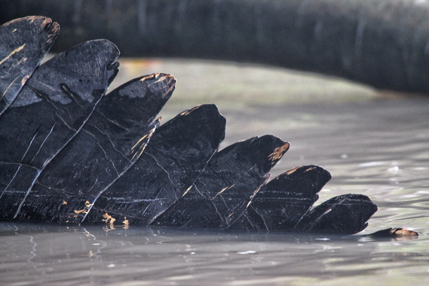 Saltwater Crocodile Buaya Tembaga Kinabatangang Sabah Borneo Malaysia