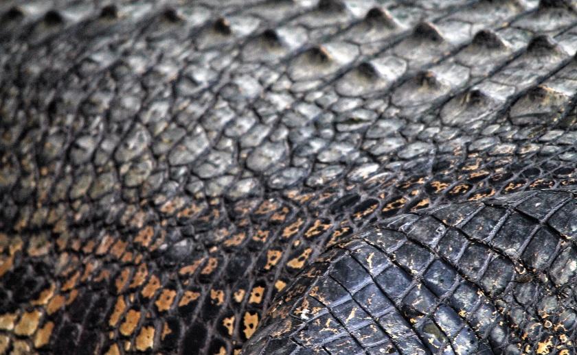 Saltwater Crocodile Buaya Tembaga Kinabatangan Sabah Borneo Malaysia