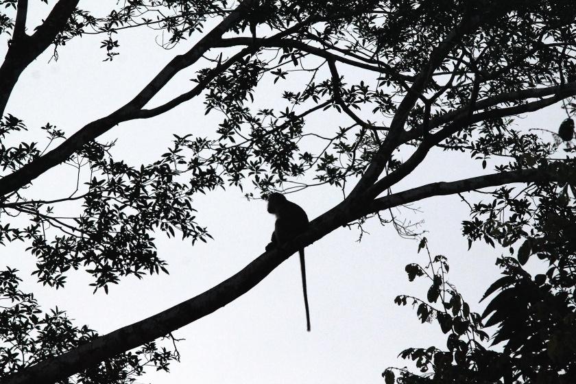 Kinabatangang Dawn Silverleaf Monkey Sabah Borneo Malaysia
