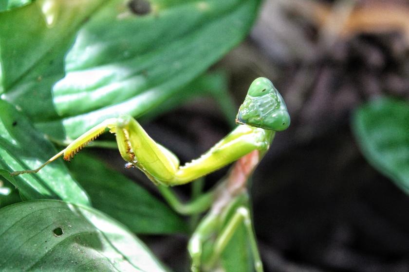Praying Mantis Mantidae Kinabatangang Sabah Borneo Malaysia