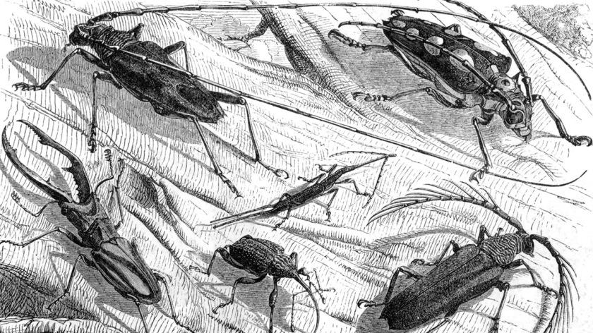 The Malay Archipelago Beetles