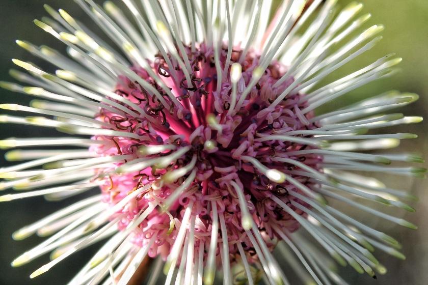 Sea Urchin Hakea petiolaris Lesmurdie Falls NP Perth Hills Western Australia