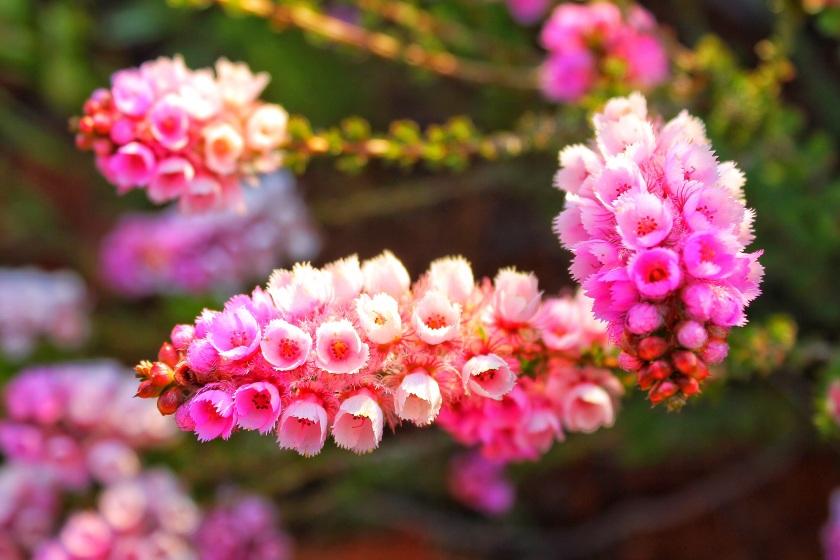 Pink flowered Myrtle Hypocalymma angustofolium Mundy Perth Hills Western Australia
