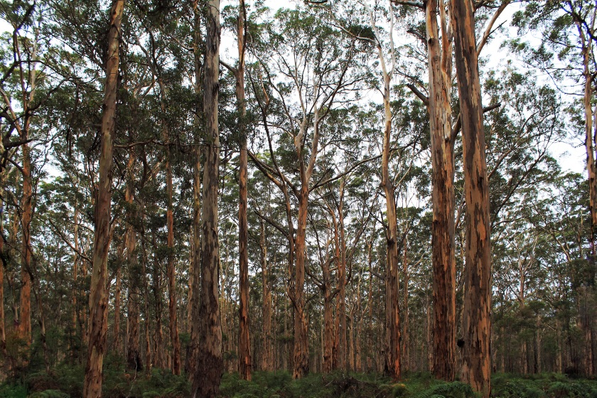 Boranup forest Karri Margaret River Western Australia