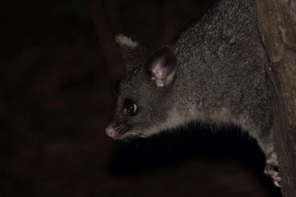 Common Brushtail Possum Trichosurus vulpecula Leeuwin Western Australia