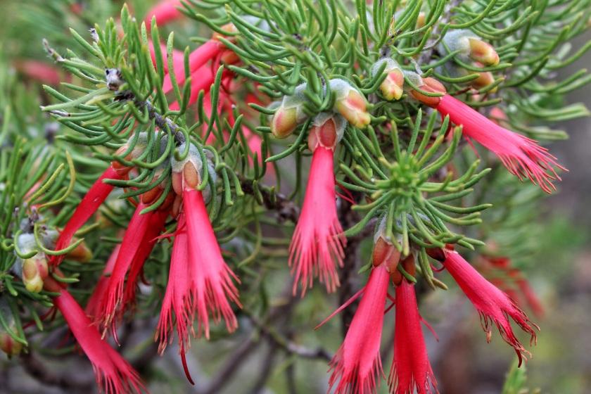 Claw flower Calothamnus sanguineus Stirling Range Western Australia
