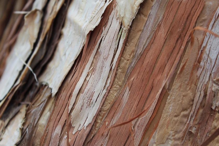 Swamp Paperbark Melaleuca rhaphiophylla Lake Herdsman Western Australia