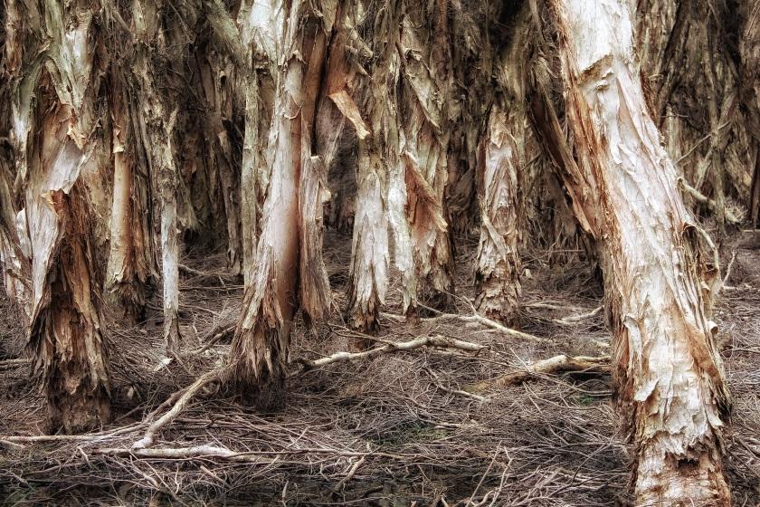 Swamp Paperbark Meleleuca Rhaphiophylla Lake Herdsman Western Australia
