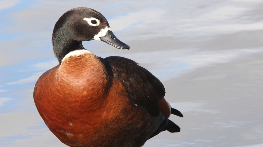 Australian Shelduck Tadorna tadornoides Herdsman Lake Western Australia