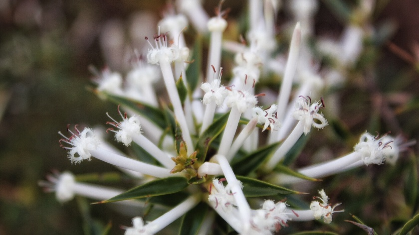 Common pinheath Styphelia tenuiflora Kalamunda NP Western Australia