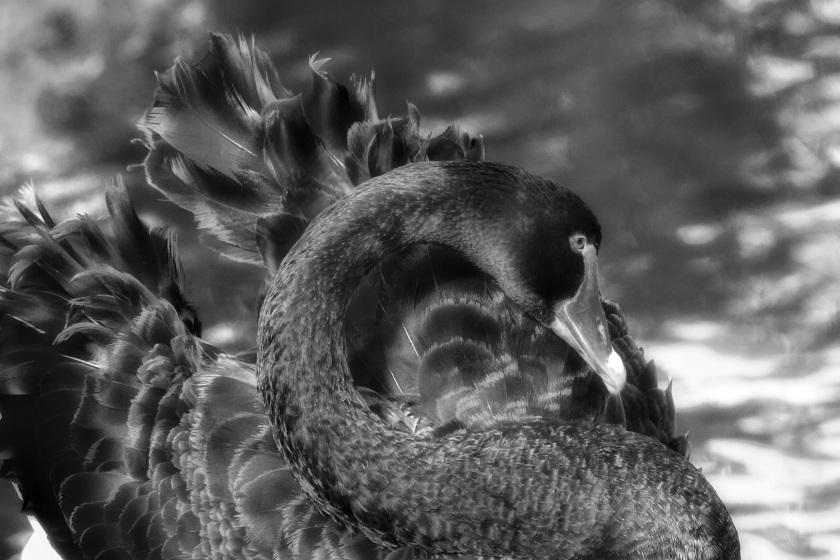 Black Swan Cygnus atratus Canning River Western Australia