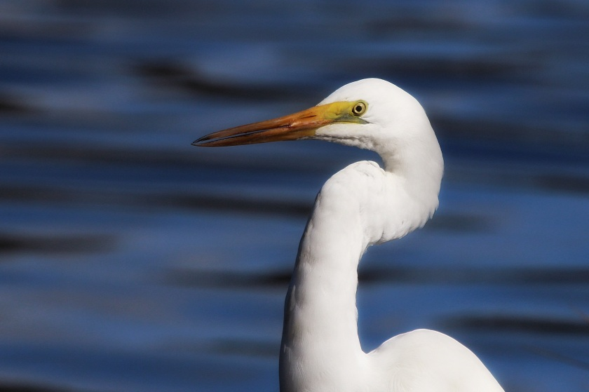 Eastern Great Egret Canning River Western Australia