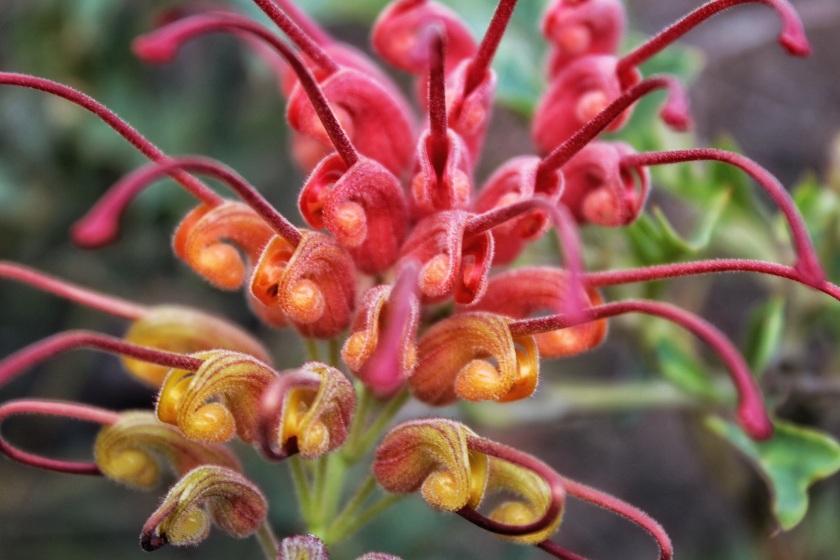Fuchsia Grevillea Grevillea bipinnatifida Beelu NP Western Australia
