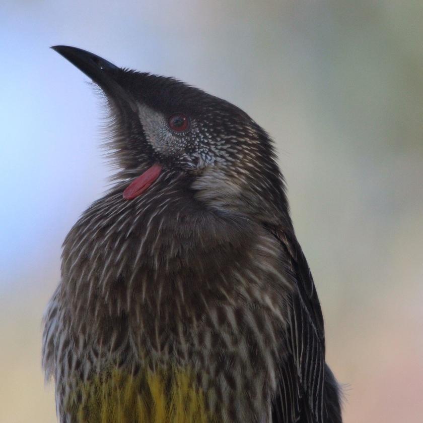 Red Wattlebird Anthochaera carunculata Lake Herdsman Western Australia