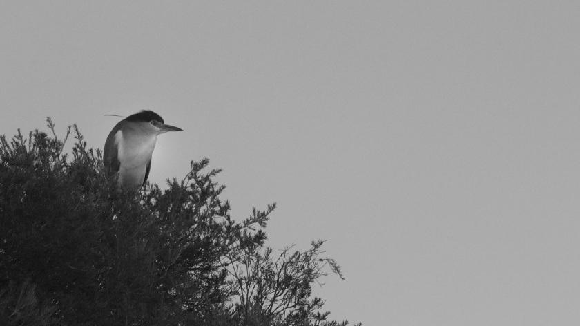 Nankeen Night Heron Nycticorax Caledonicus Lake Herdsman Western Australia