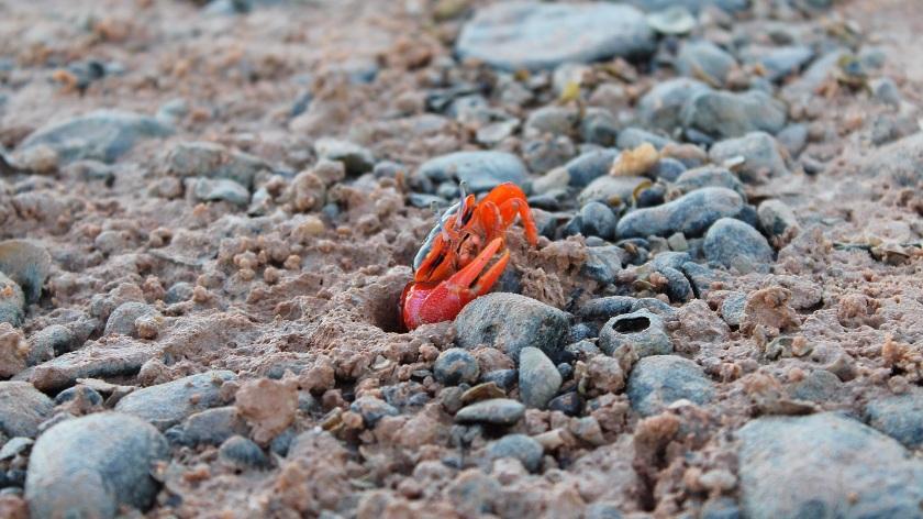 Flame Fiddler Crab Uca flammula Roebuck Bay Broome Western Australia