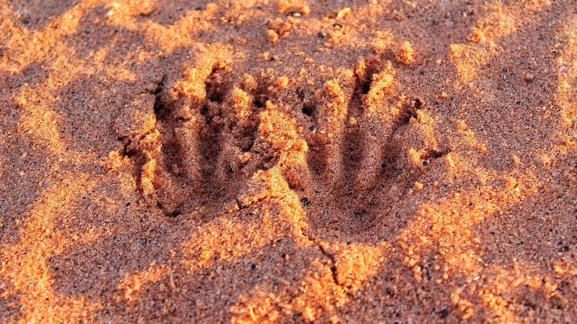Agile Wallaby track Broome Bird Observatory Western Australia