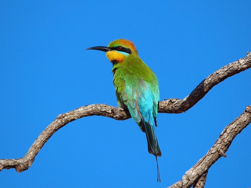Rainbow bee-eater Roebuck Bay Broome Western Australia