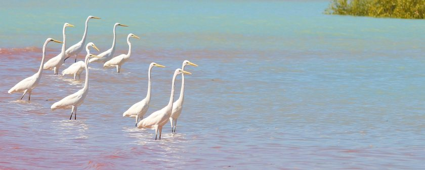 Great Egrets Roebuck Bay Broome Western Australia