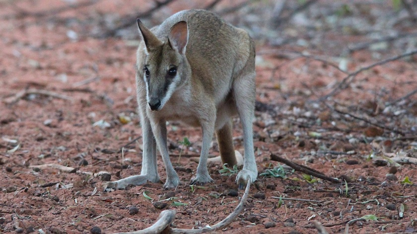 Agile Wallaby Broome Bird Observatory Western Australia